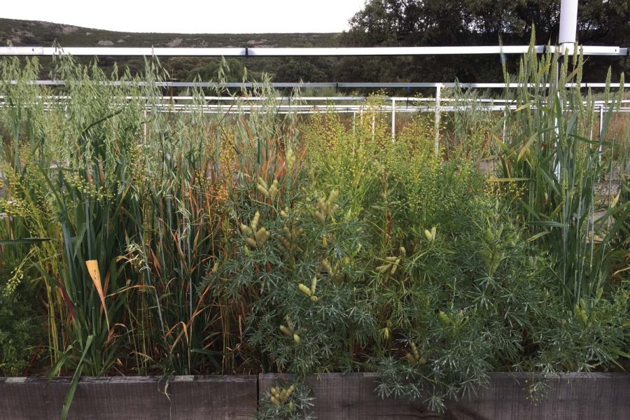 In this Bachelor thesis at ETH Zurich (Switzerland), weed pressure was assessed along a crop diversity gradient