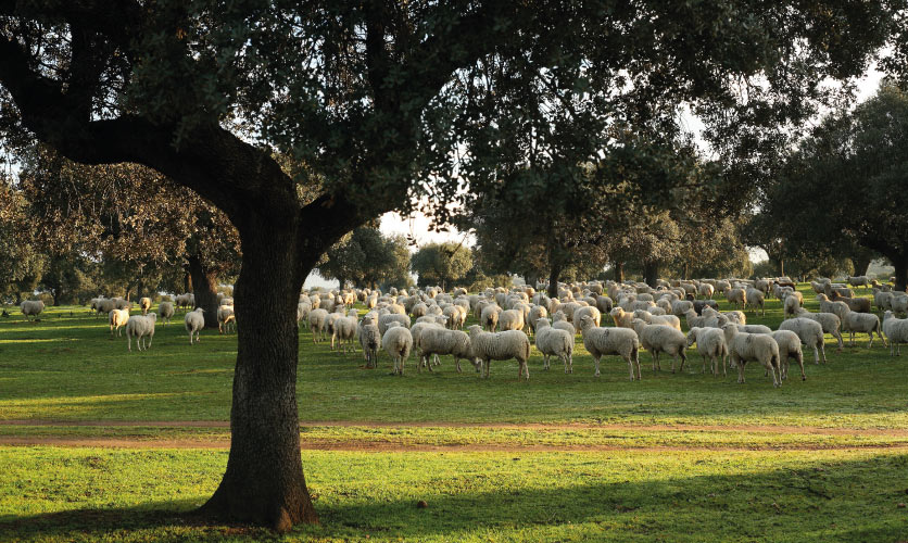 The respectful use of pasture, forest and livestock during centuries has shaped the dehesa, the dominant ecosystem of Las Corchuelas. It is one of few examples of sustainable agroecosystems worldwide