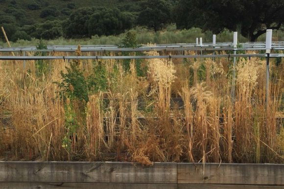 Experiment conducted at the Aprisco de Las Corchuelas, in collaboration with Rothamsted Research, with the aim of developing crop growth models to predict crop yield in mixtures